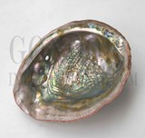 1pc Red abalone shell natural
