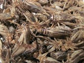 Plain Roasted Crickets- LARGE