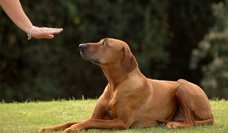 Essential Rules of Dog Obedience Training