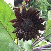 Sunflower 'Moulin Rouge' Seeds
