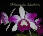 Cattleya intermedia flammea (forte x vinicolor escura) - NEW