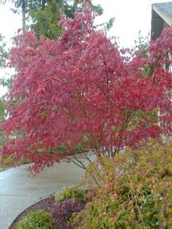 acer palmatum bloodgood blerick trees buy online trees. Black Bedroom Furniture Sets. Home Design Ideas