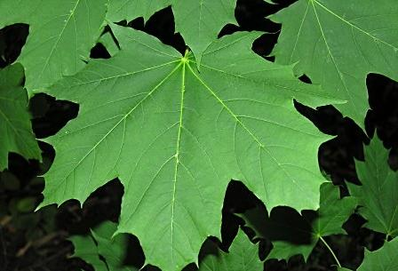 Acer Platanoides Norway Maple Yellow Maple Tree Blerick Trees Buy