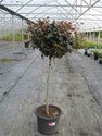 Syzygium Australe Big Red Standard