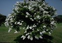 Lagerstroemia fauriei - Acoma Crepe Myrtle