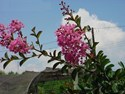 Lagerstroemia fauriei - Sioux Crepe Myrtle