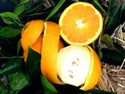 Citrus sinensis - Orange Washington Navel