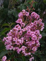 Lagerstroemia - Indian Summer Crepe Myrtle  Biloxi Crepe Myrtle Tree (pale pink)