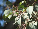 Eucalyptus polyanthemos - Silver Dollar Gum - Red Box