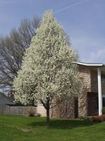 Ornamental Pear Pyrus calleryana - Winter Glow Pear Tree - Evergreen Pear