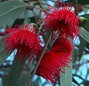 Eucalyptus leucoxylon Megalocarpa Rosea - Red Flowering Yellow Gum*