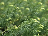 Cephalotaxus harringtonia - Japanese Plum Yew