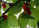 Morus nigra Mulberry - Black Mulberry English Mulberry