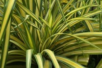 Phormium tenax Varigated 'Yellow Wave' Flax