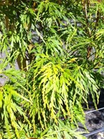 Acer palmatum Dissectum Seiryu - Lace Leaf Japanese Maple Tree