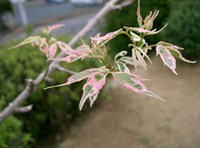 Acer negundo - Flamingo Maple Tree