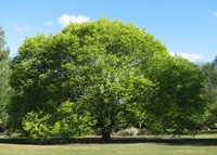 Ulmus glabra 'Lutescens' - Golden Elm Tree