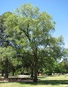 Ulmus minor Variegata - Silver Elm Tree - Varigated Elm Tree