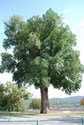 Ulmus procera - Green English Elm Tree