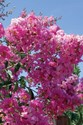 Lagerstroemia - Indian Summer Crepe Myrtle Lipan Crepe Myrtle Tree (Lavender)