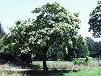 Catalpa bignonioides Nana Mop Top  - Indian Bean Tree