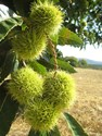 Castanea sativa - Chestnut Tree non grafted