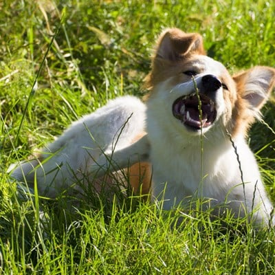 Flea allergies in dogs